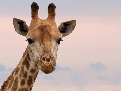 Giraffe: gli esemplari sono a rischio estinzione